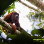 Red Howler Monkey/Mono Aullador