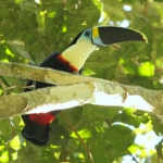 Red-billed Toucan/Tucan Pechiblanco